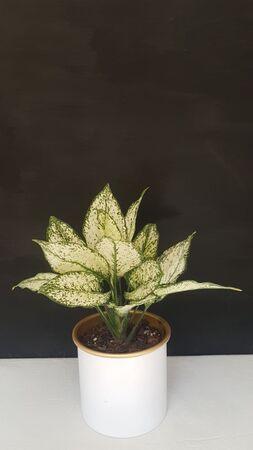 آگلونِما وایت در گلدان فلزی