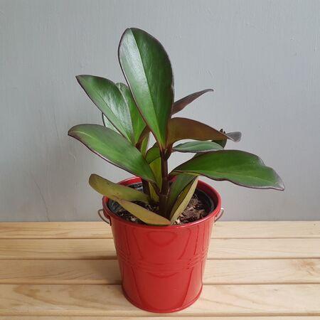 گیاه قاشقی لب ماتیکی در گلدان فلزی