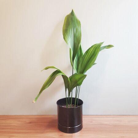 گیاه اَسپیدیسترا ایلِیتیِر در گلدان فلزی