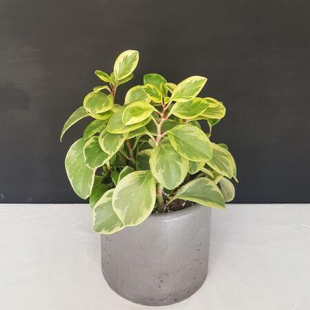 گیاه قاشقی ابلق در گلدان بتن