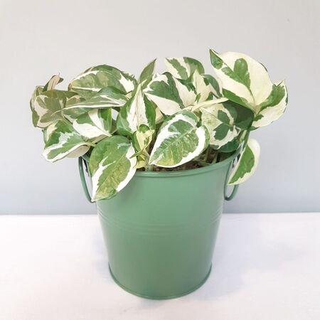 گیاه پوتوس NJoy در گلدان فلزی