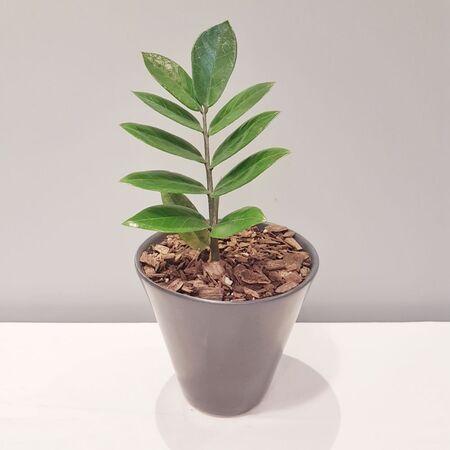 گیاه زامیفولیا در گلدان سرامیکی دست ساز