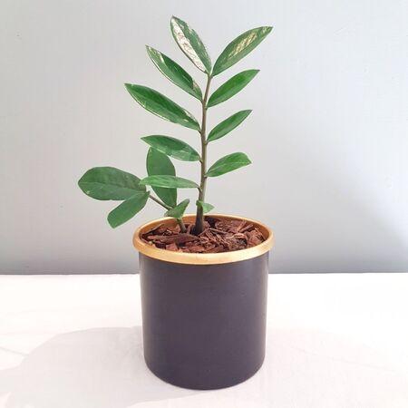 گیاه زامیفولیا در گلدان فلزی