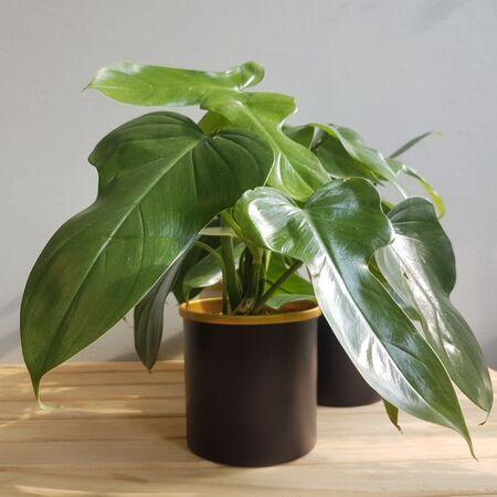 گیاه فیلودِندرون بایپِنیفولیوم