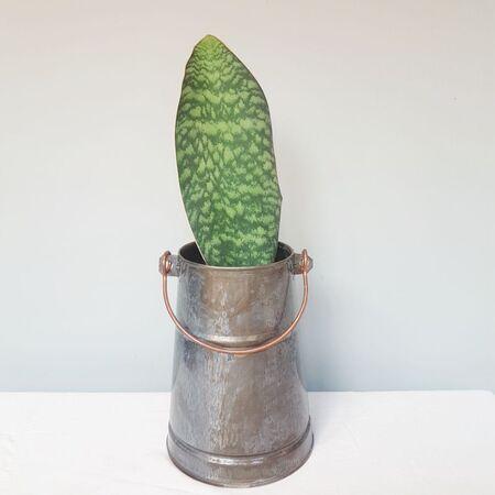سانسوریا راکتی در گلدان فلزی دستساز