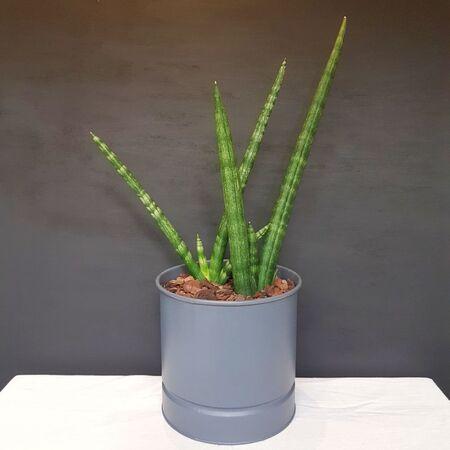 گیاه سانسِوِریا بونسِل در گلدان فلزی